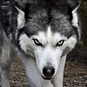 A wolf as an analogy of false teachers